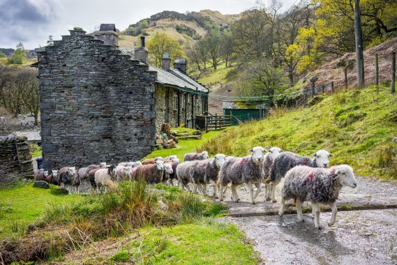 Photograph Herdwick sheep in the Lake District c John Hodgson